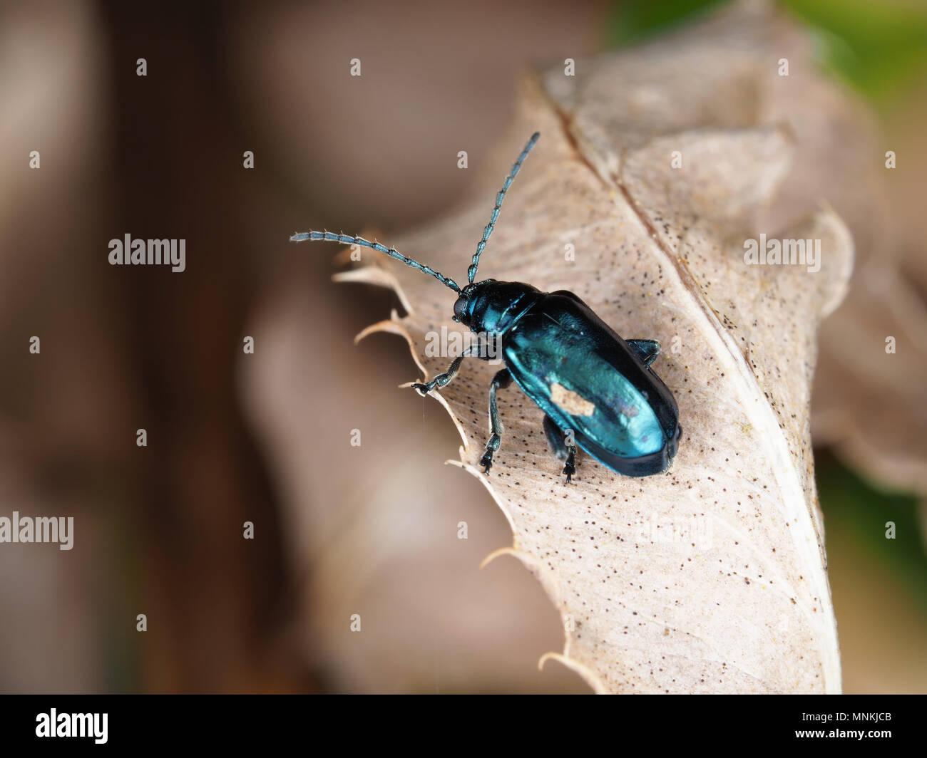 Altica sp. Käfer auf eine getrocknete Blätter Stockfoto
