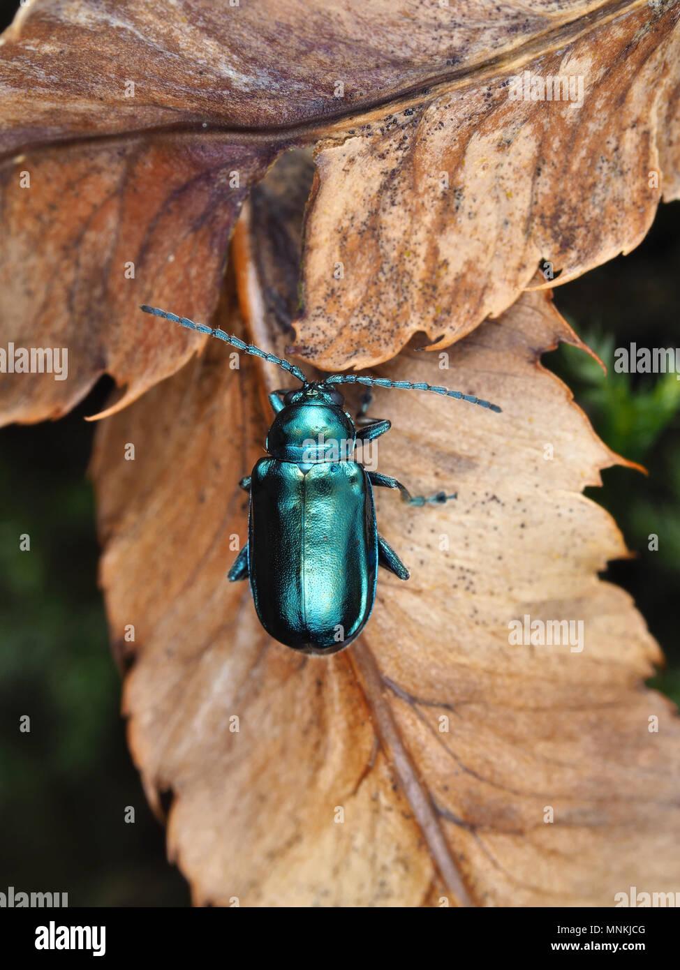 Altica sp. Käfer auf getrocknete Blätter, dorsale Ansicht Stockfoto