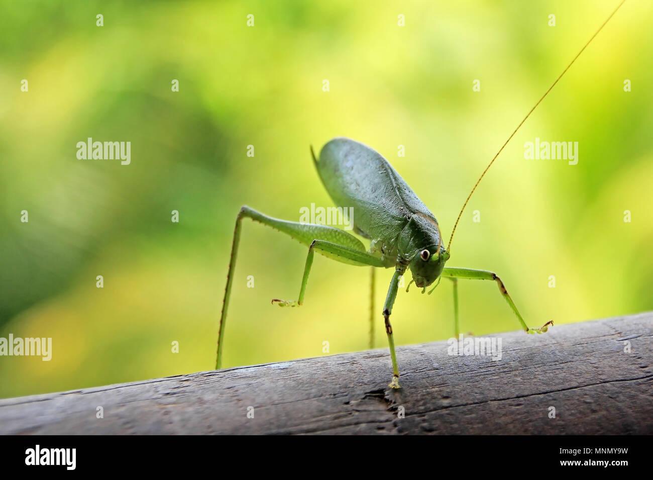 Nahaufnahme von Tettigoniidae, auch als Bush Cricket, katydid oder Langhörnigen Heuschrecke, Costa Rica Stockbild