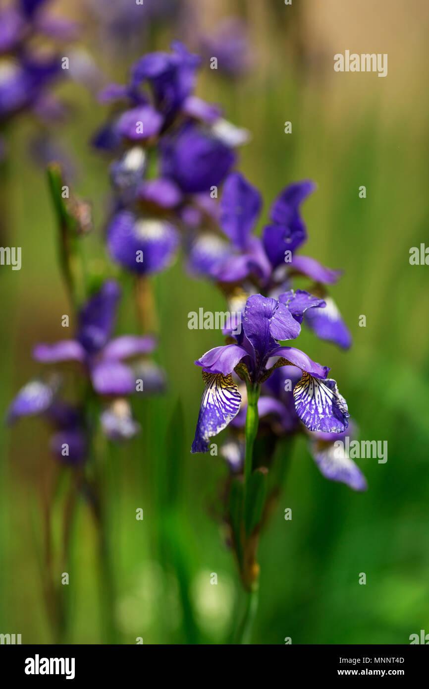 garten blumen lila, schönen garten blumen lila iris. auf einem grünen hintergrund der, Design ideen