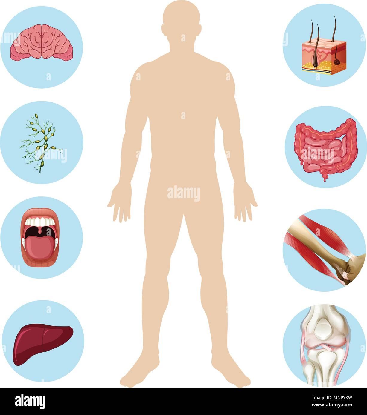 Organ des Menschen Anatomie Teil des Körpers Abbildung Vektor ...