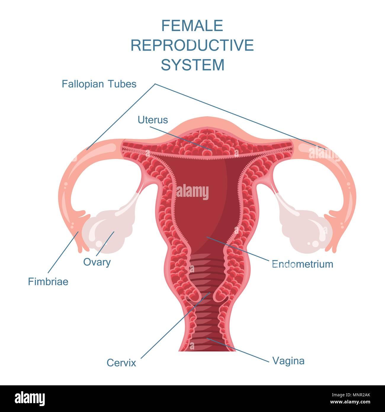 Weibliche Geschlechtsorgane Vector Illustration Vektor Abbildung ...