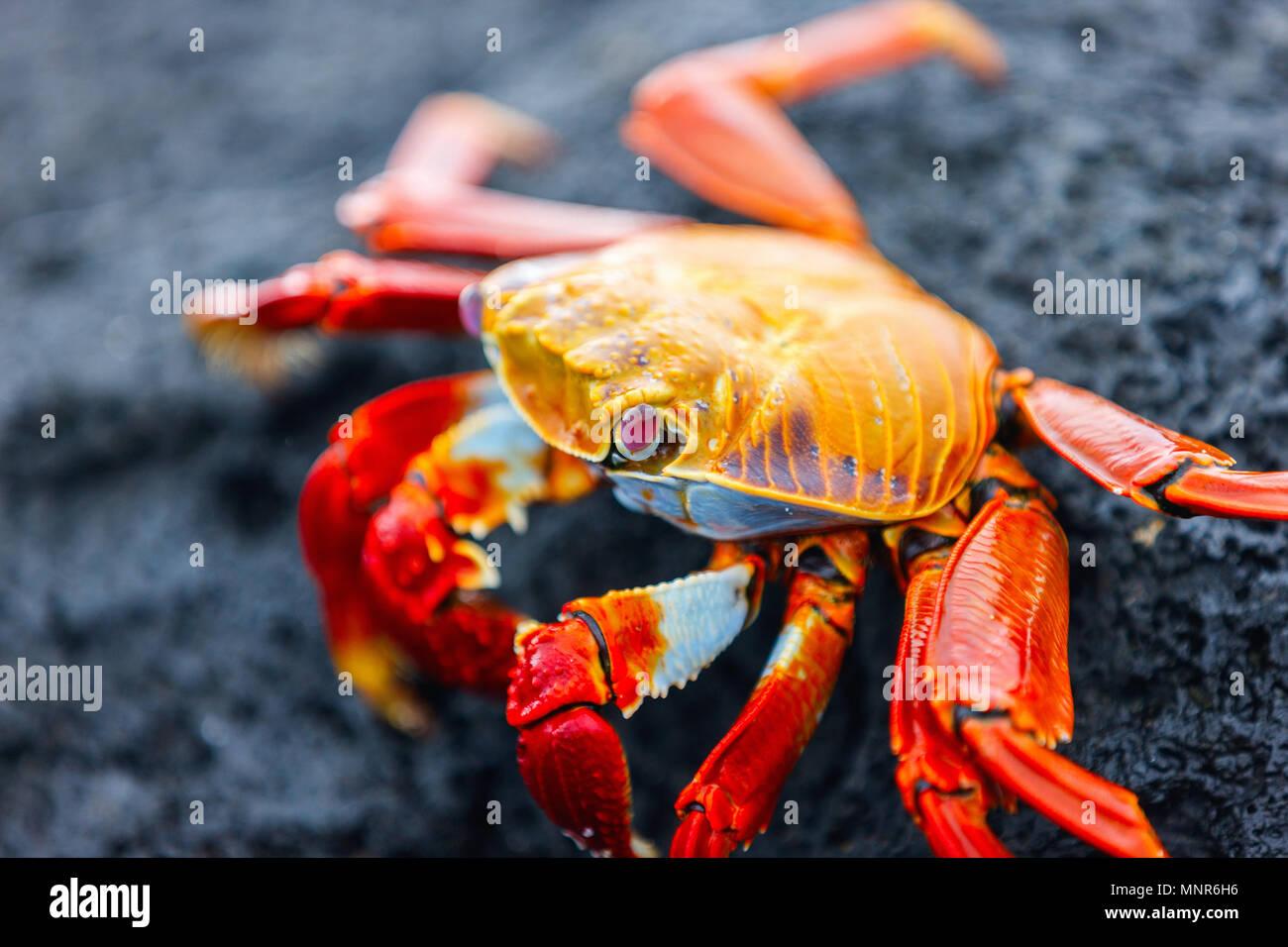 Sally Lightfoot Crab auf schwarzem Lavagestein Stockbild