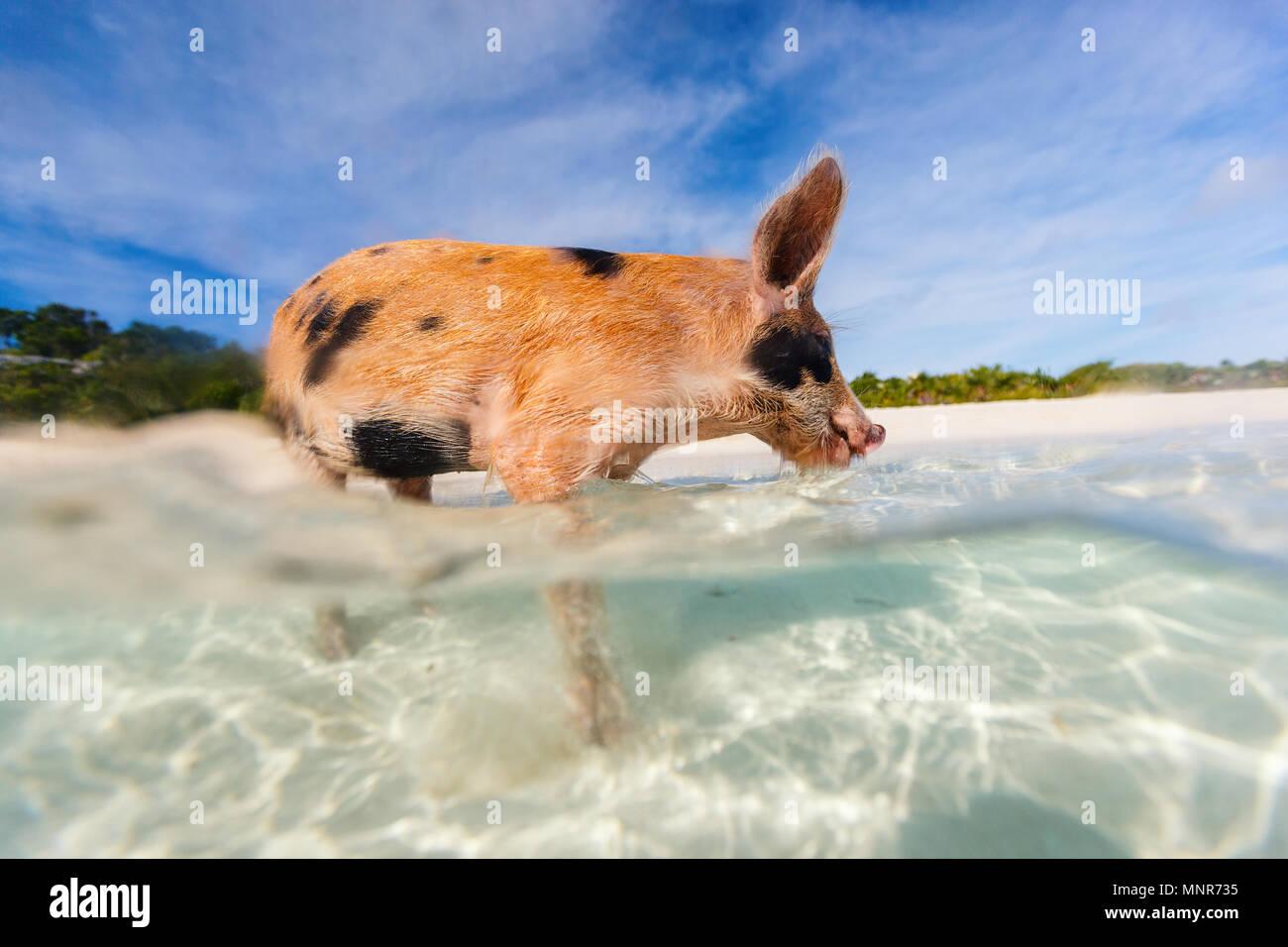 Kleine Ferkel im Wasser am Strand auf Exuma Bahamas Stockfoto