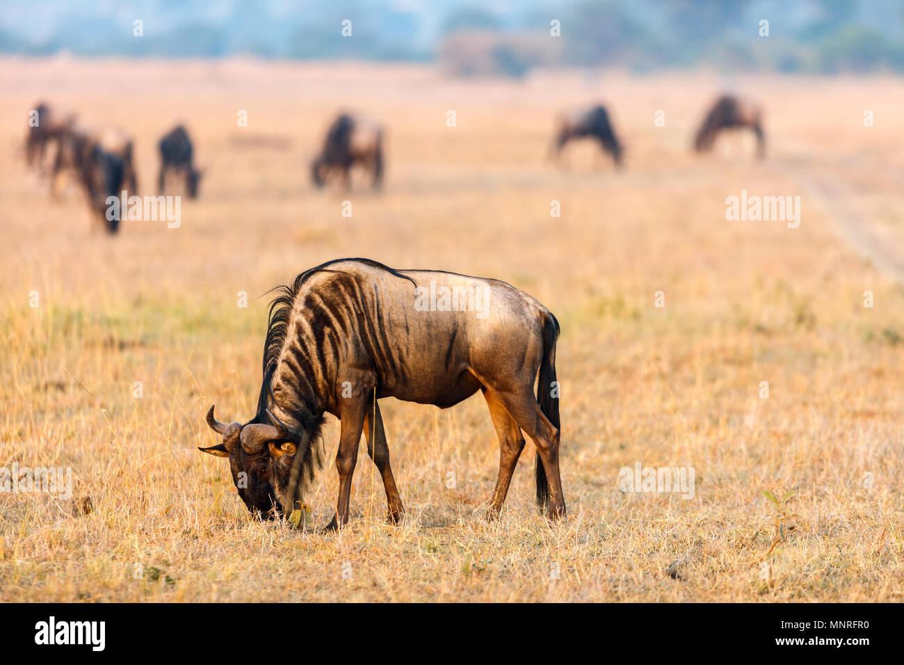Gnus am frühen Morgen in der Masai Mara Kenia Stockfoto
