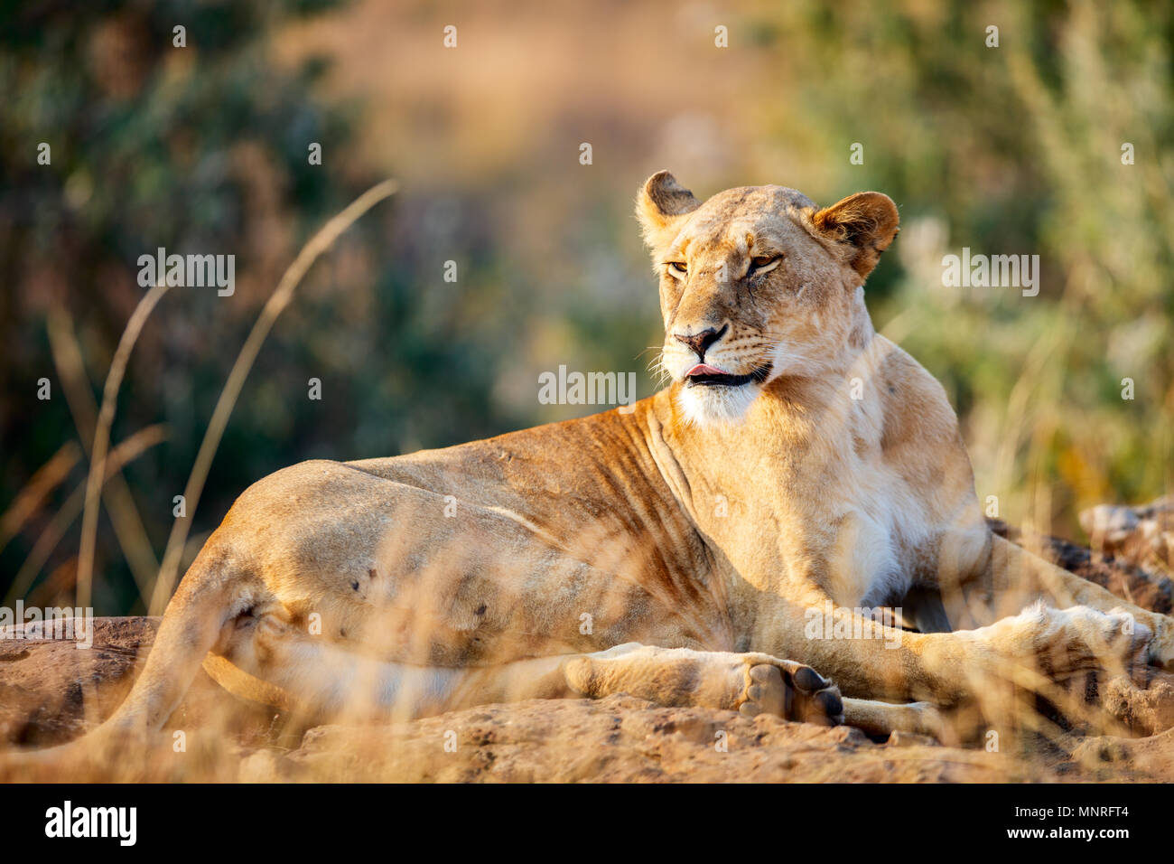 Weibliche Löwe, der in der nationalen Reserve in Kenia Stockbild