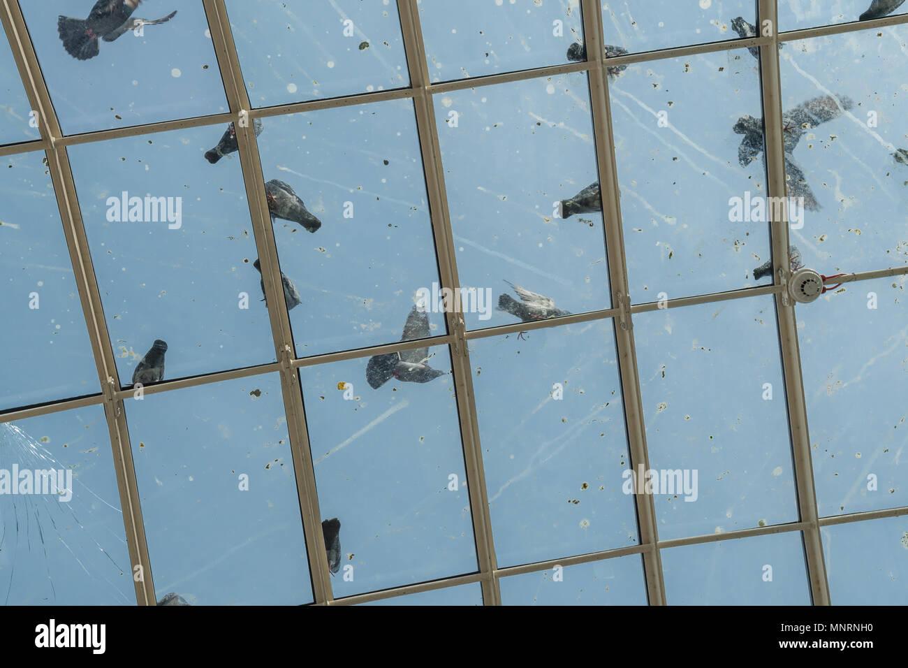 Tauben auf dem Glasdach des St Enoch Station, Glasgow, Schottland, Großbritannien Stockbild