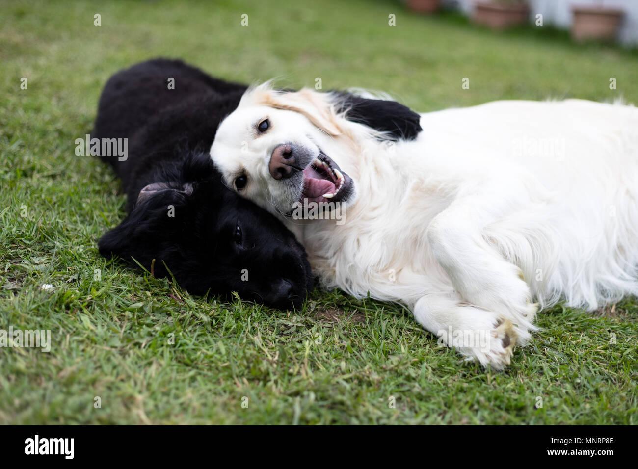 Dog Newfoundland Puppy Black White Stockfotos & Dog Newfoundland ...