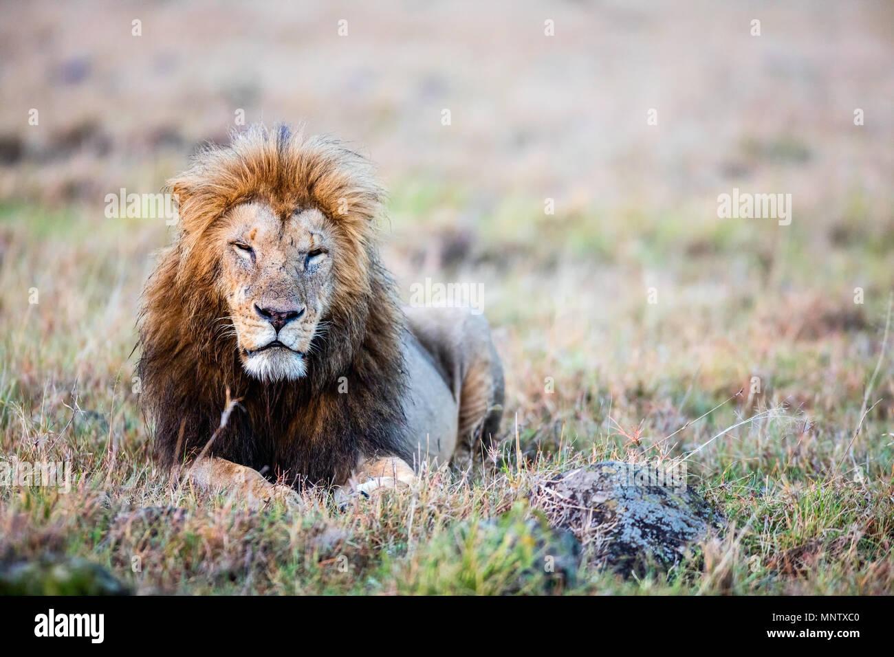 Männliche Löwe im Gras liegend in der Savanne in Afrika Stockbild