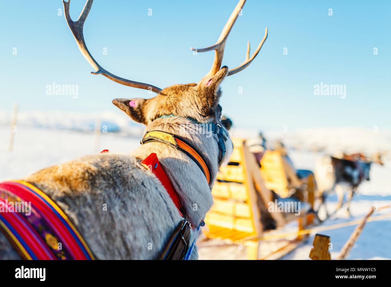 Nahaufnahme der Rentiere ziehen eines Schlittens Norden Norwegens an sonnigen Wintertag Stockbild