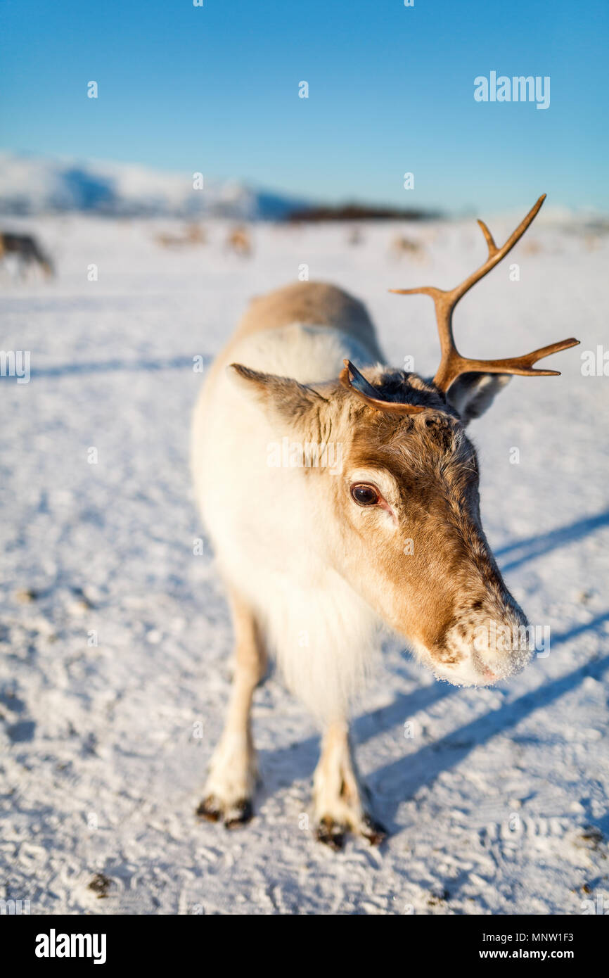 Rentier in Nordnorwegen auf sonnigen Wintertag Stockbild