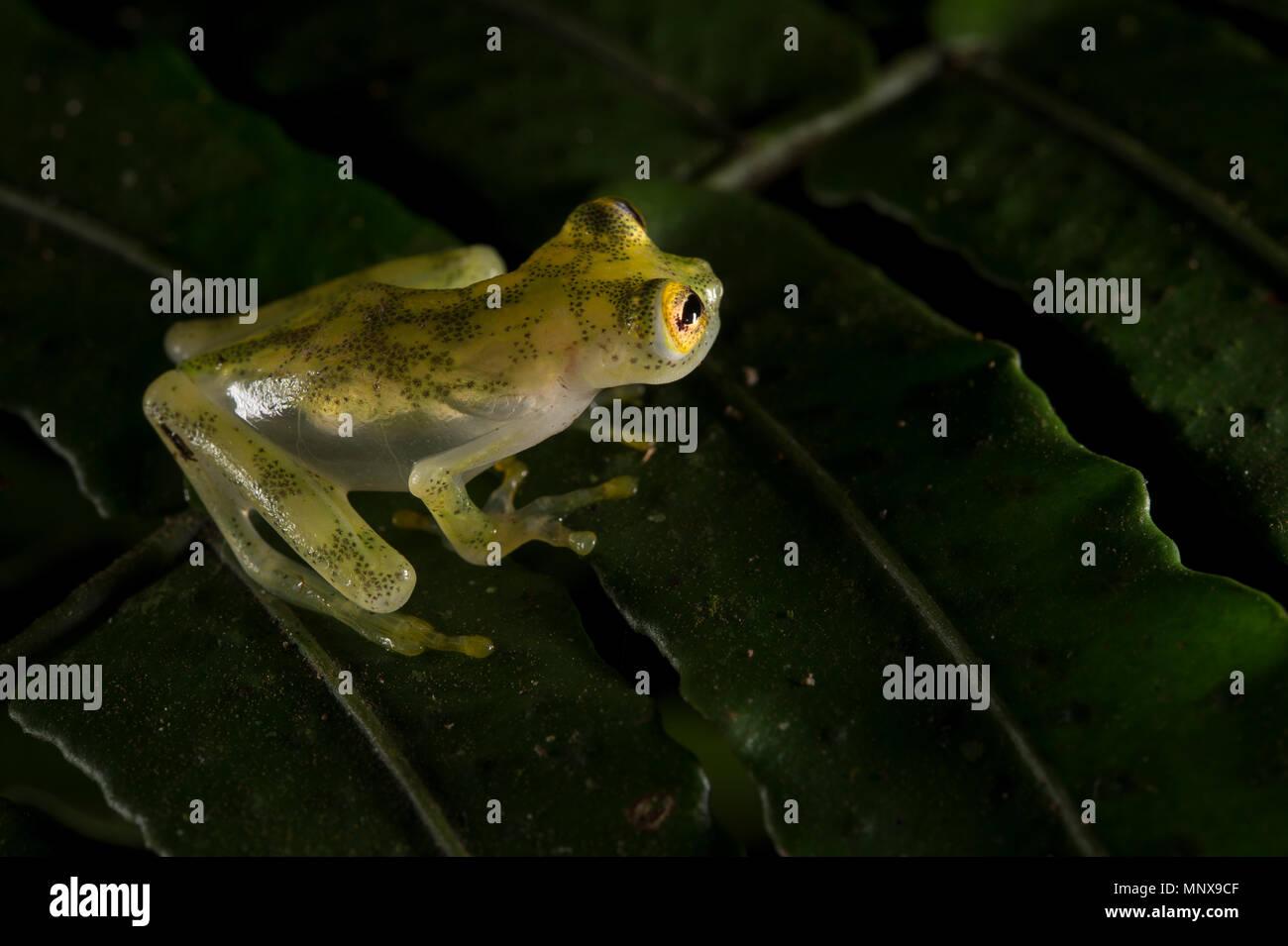 Aus vernetztem Glas Frog Hyalinobatrachium valerioi Centrolenidae,,, Costa Rica Stockbild