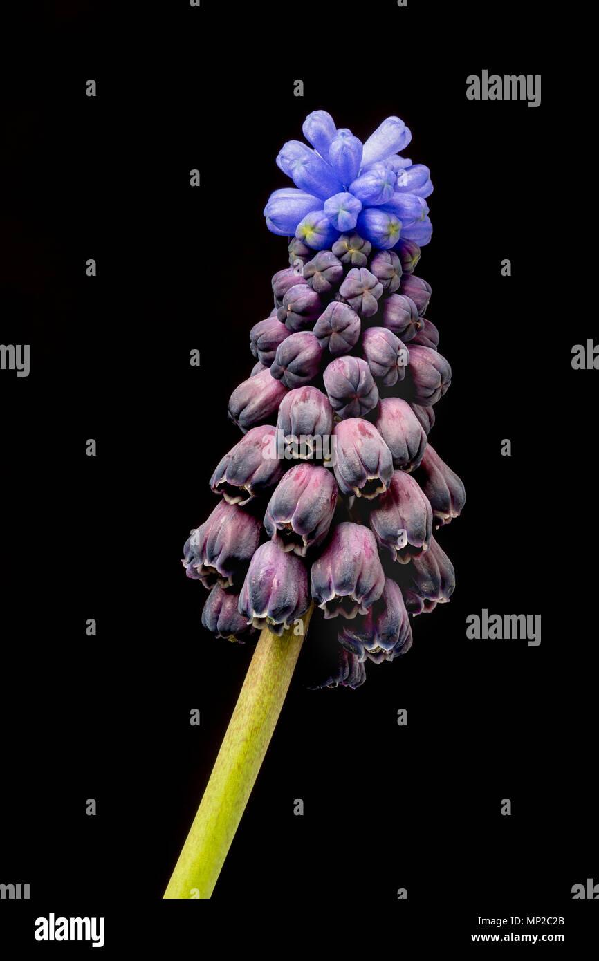 Zweifarbige Traubenhyazinthen, Muscari latifolium, aus der Türkei, im Anbau. Familie Asparagaceae Stockbild