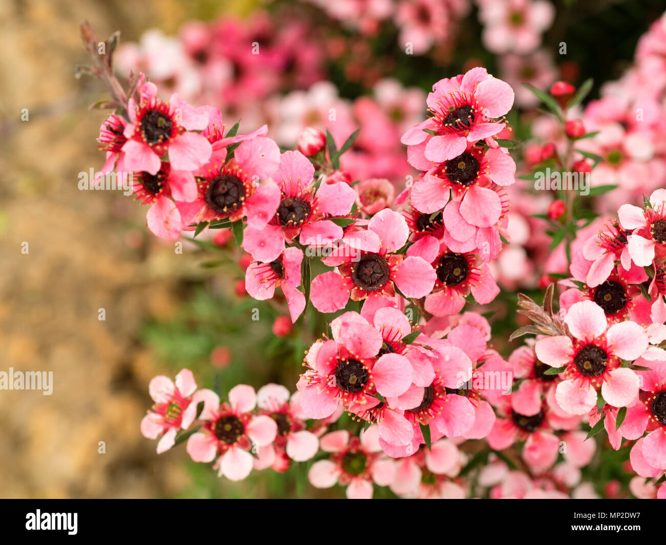 Rosa blühenden Form der Neuseeland Manuka oder Teebaum, Leptospermum scoparium 'Martini', Hardy in milderen Klimazonen Stockbild