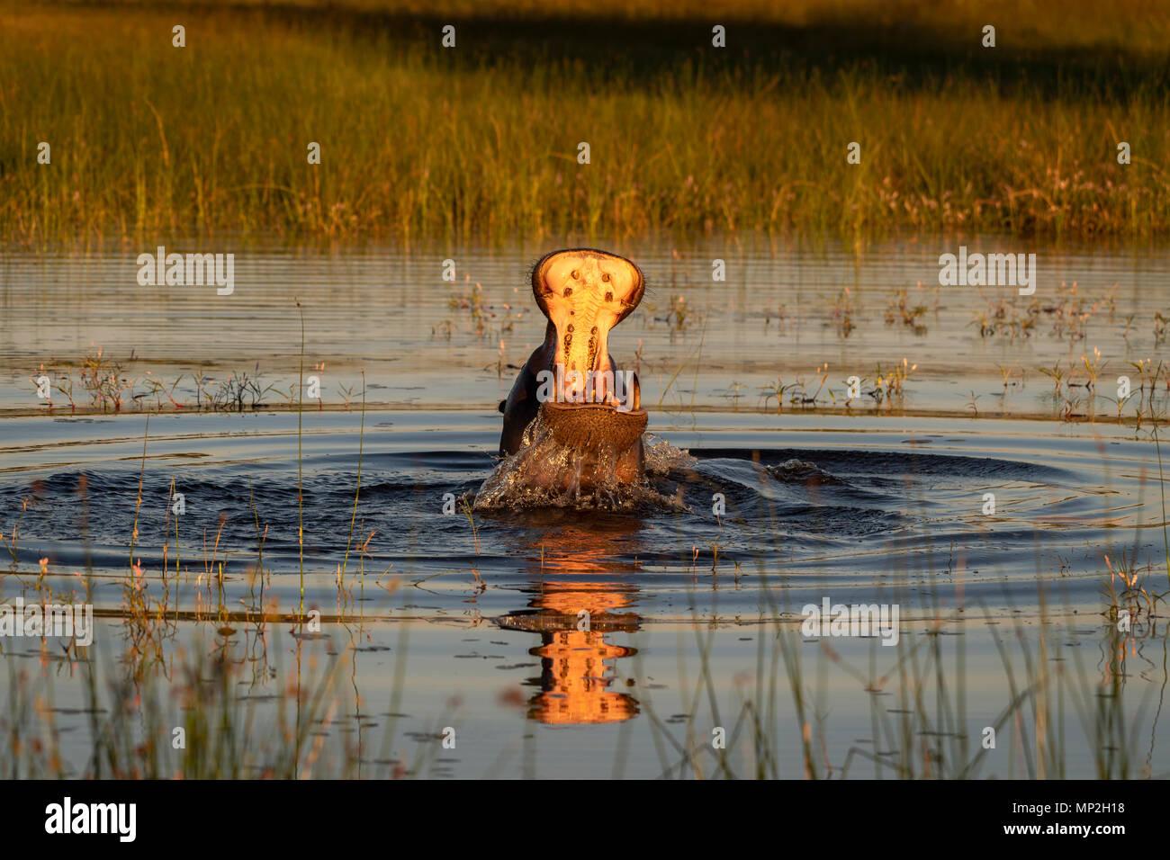 Hippopotamus verletzen oder bedrohen; Stockbild