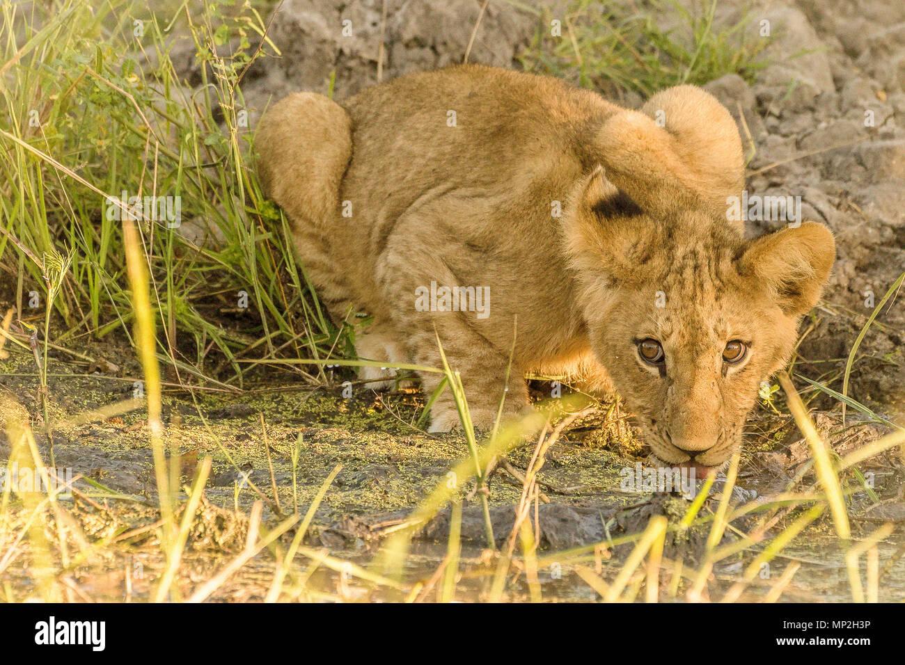 Lion Cub Trinkwasser und starrt Stockbild
