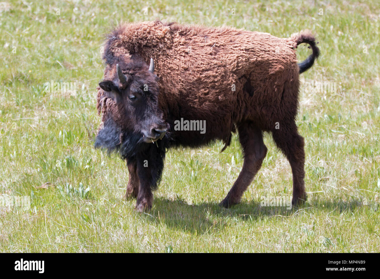 Bison Buffalo Kuh im Lamar Valley im Yellowstone National Park in Wyoming  United States Stockbild fd1f73d790