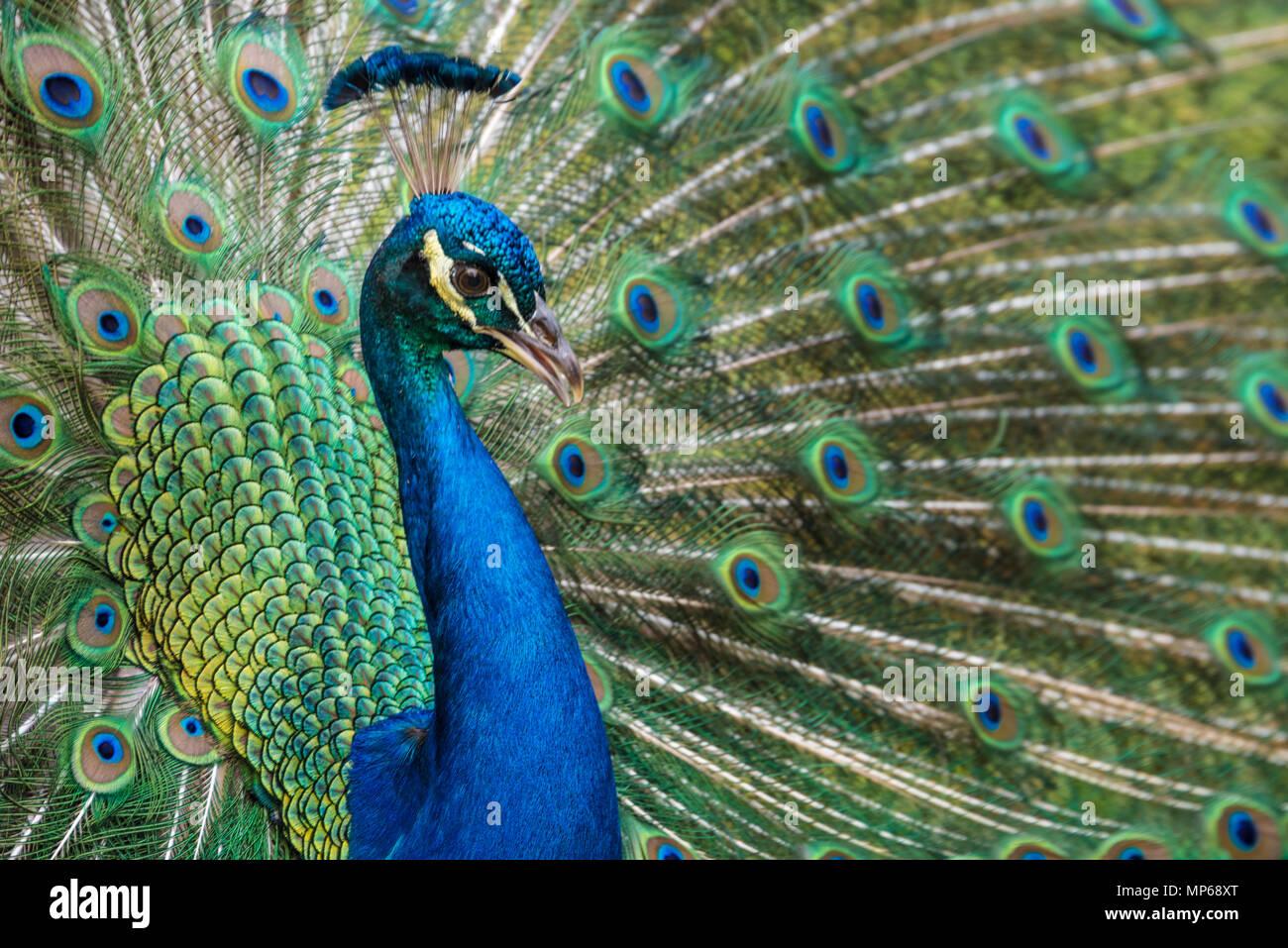 Indisch Blau Pfau mit lebendigen schillerndes Gefieder in voller Anzeige an Ponce de Leon's Jungbrunnen Archäologischen Park in St. Augustine, Florida. Stockbild