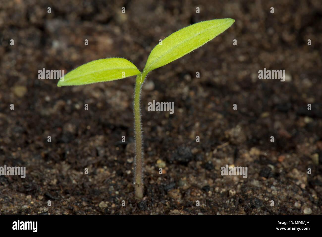 Gärtner Freude, Cherry Tomaten Sämling nur mit keimblättern über der Erde gekeimt Stockbild