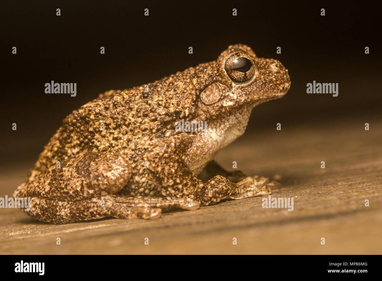Copes grau Treefrog (Hyla chrysoscelis) in einigen Bereichen Sie Sympatric sind mit grauem treefrogs (Hyla versicolor) und kann durch den Anruf unterschieden werden. Stockbild
