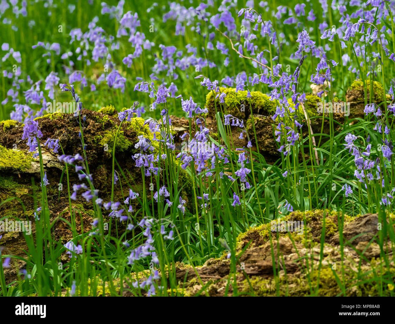 Der Teppich von intensiven blauen unter Baumkronen ist eines unserer größten Waldgebiet Brillen im Frühling Stockbild