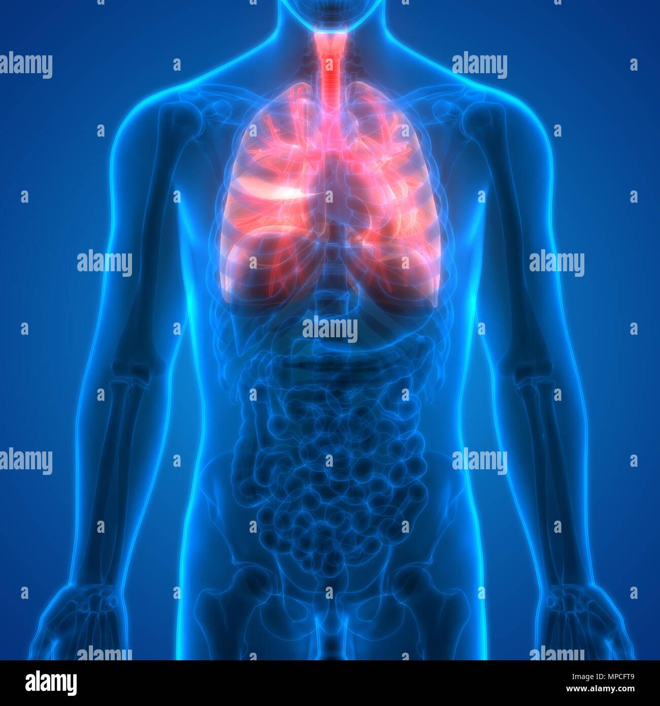 Menschliche Atmungssystem Lungen Anatomie Stockfoto, Bild: 185901977 ...