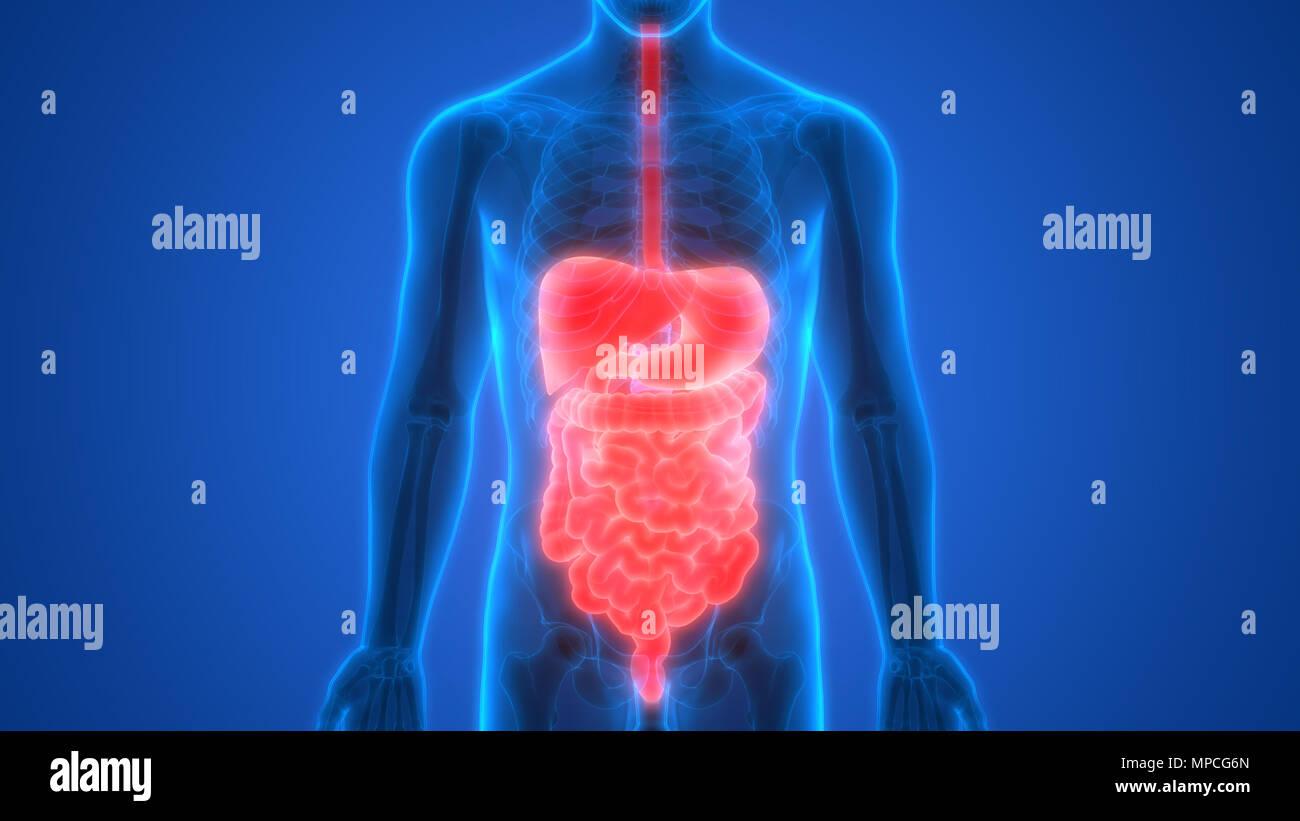 Anatomie der menschlichen Verdauungssystem Stockfoto, Bild ...