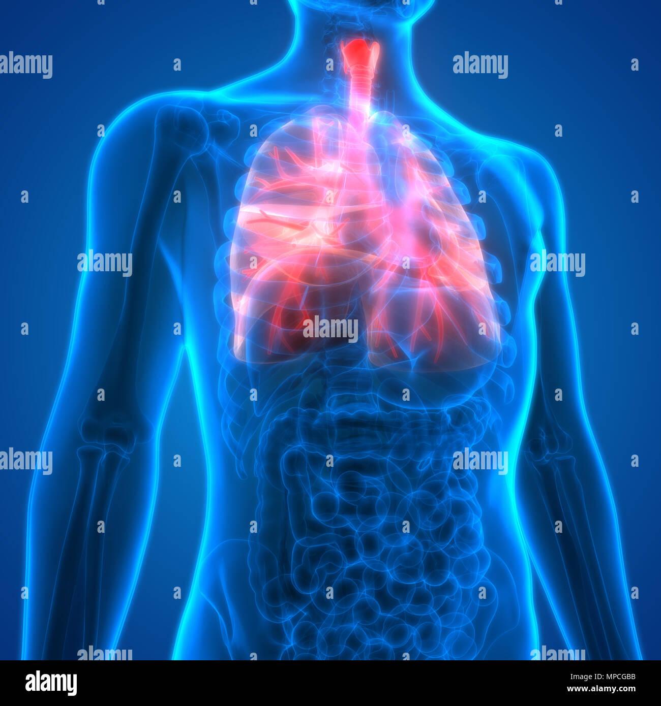 Menschliche Atmungssystem Lungen Anatomie Stockfoto, Bild: 185902399 ...