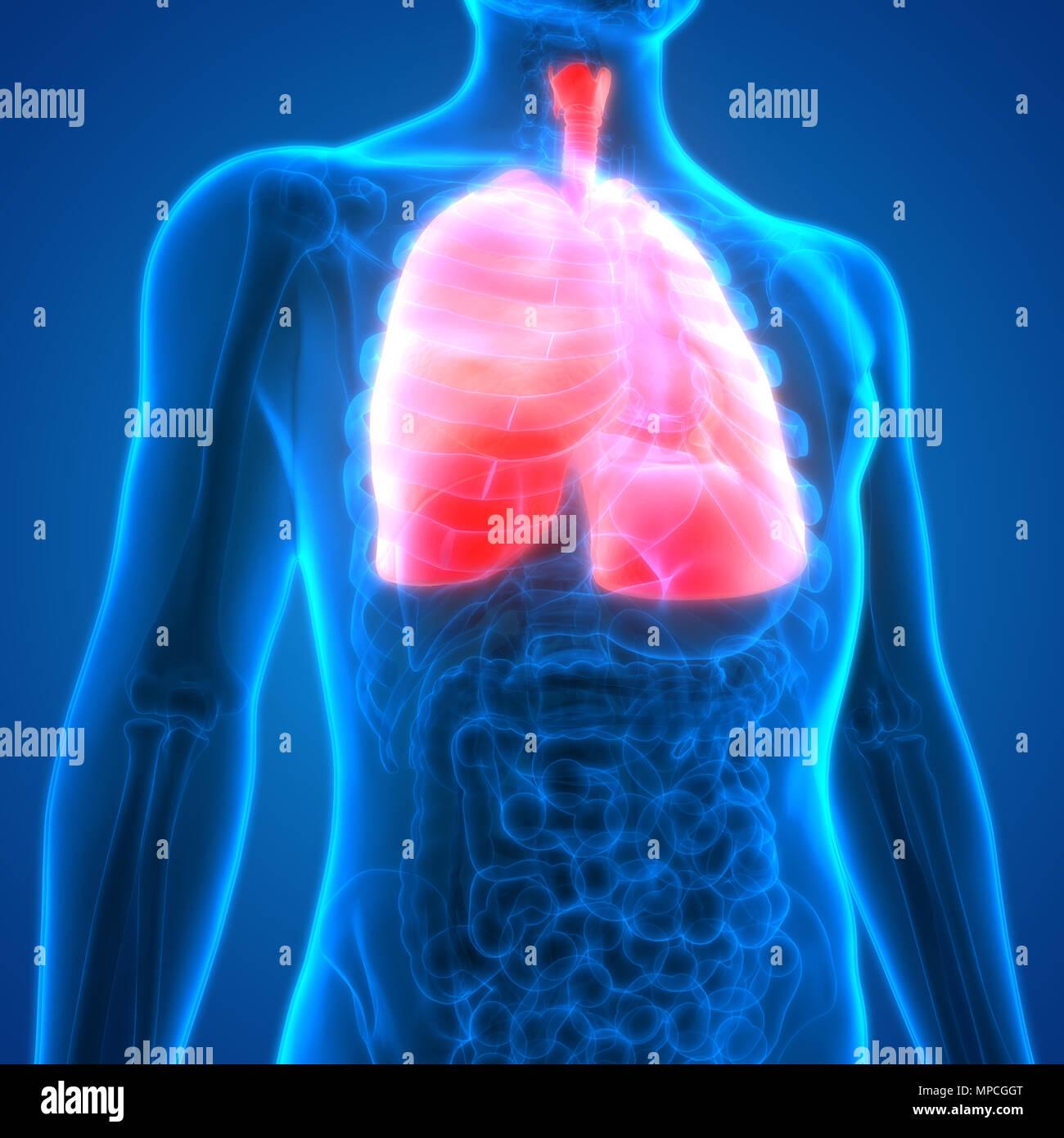 Menschliche Atmungssystem Lungen Anatomie Stockfoto, Bild: 185902552 ...
