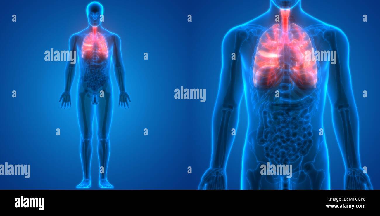 Menschliche Atmungssystem Lungen Anatomie Stockfoto, Bild: 185902704 ...