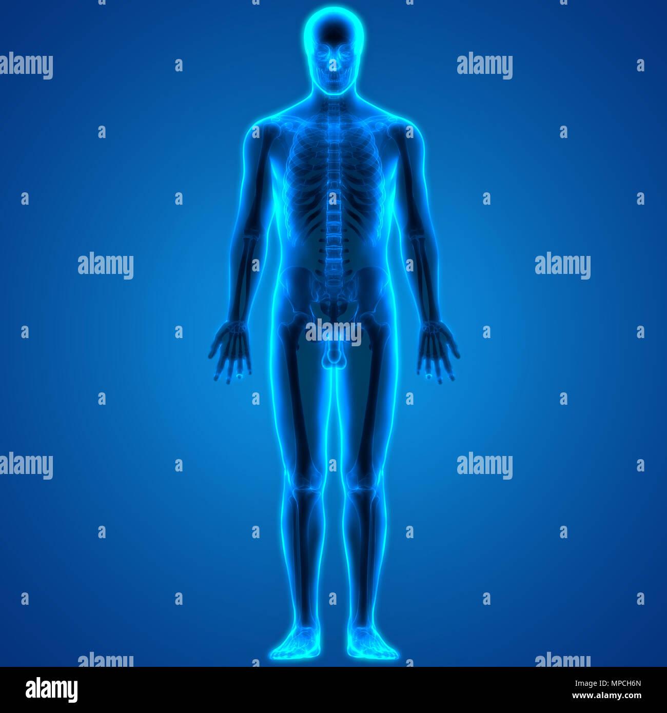 Menschliche Knochen Körper Gelenkschmerzen Anatomie Stockfoto, Bild ...
