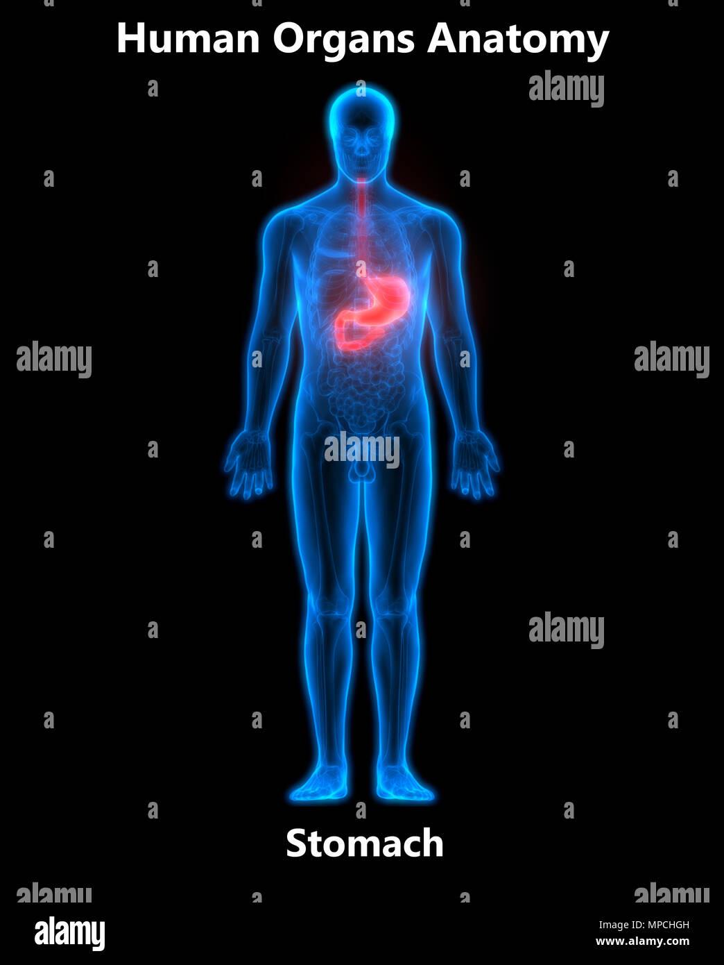 Menschliche Verdauungssystem Magen Anatomie Stockfoto, Bild ...