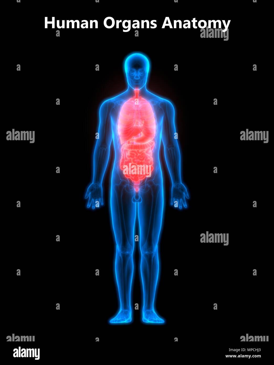 Menschlichen Körper Organe Anatomie Stockfoto, Bild: 185903371 - Alamy