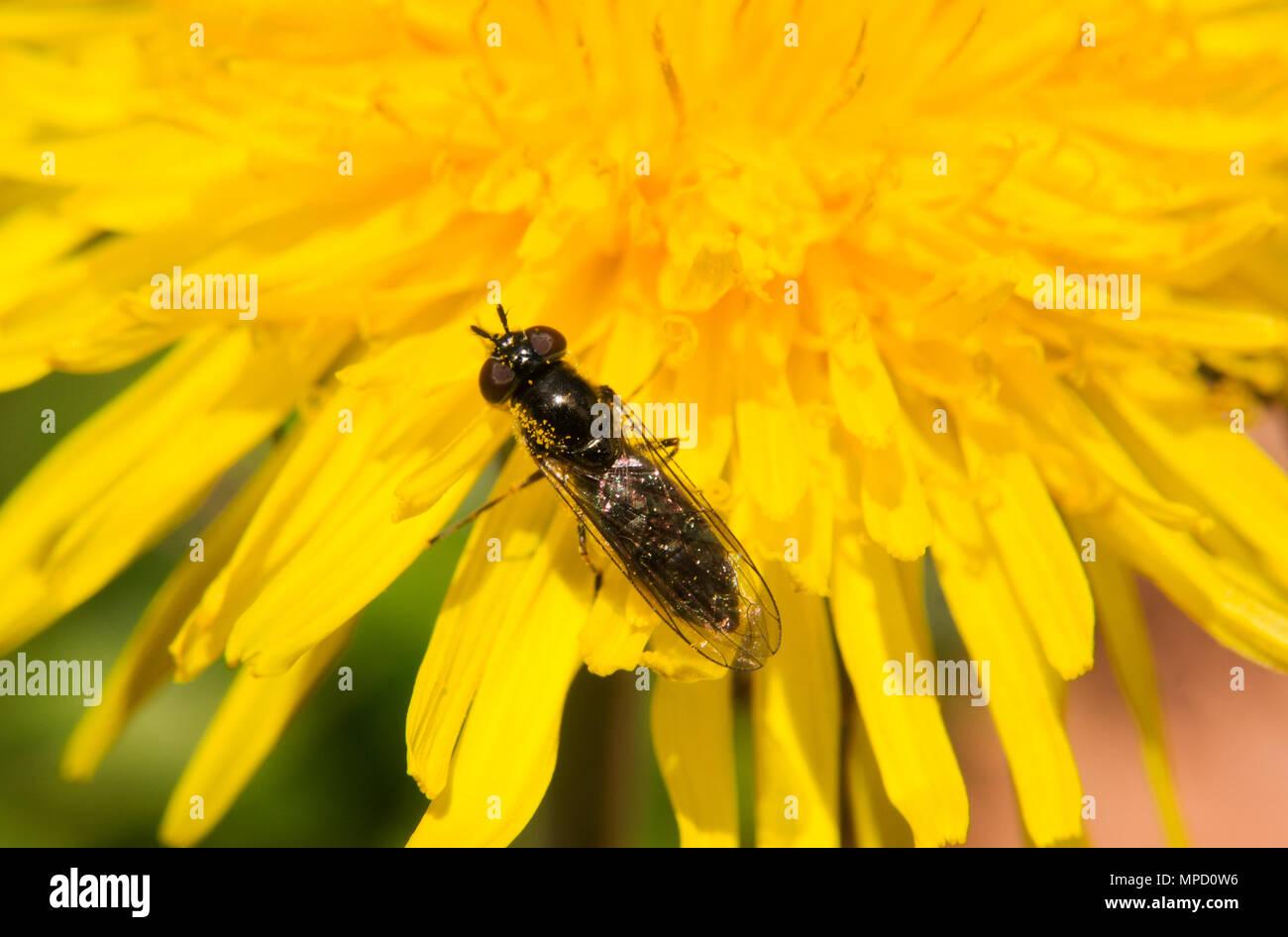 Nahaufnahmen von den erstaunlichen Leben und Schönheit der Insekten, in den Wäldern und Gärten von Bovey Tracey genommen. Devon (UK) Stockbild