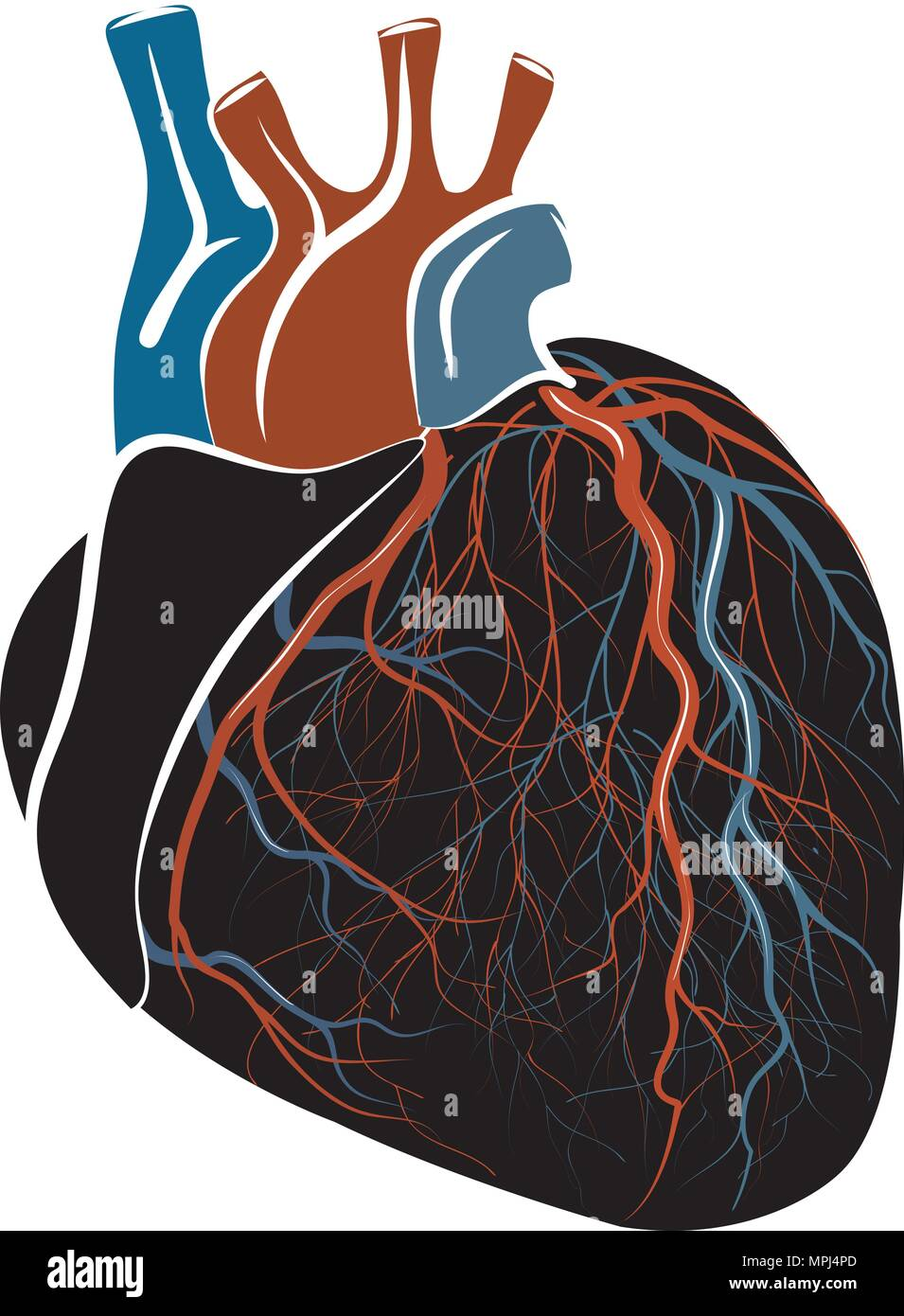 Left Ventricle Stockfotos & Left Ventricle Bilder - Seite 2 - Alamy