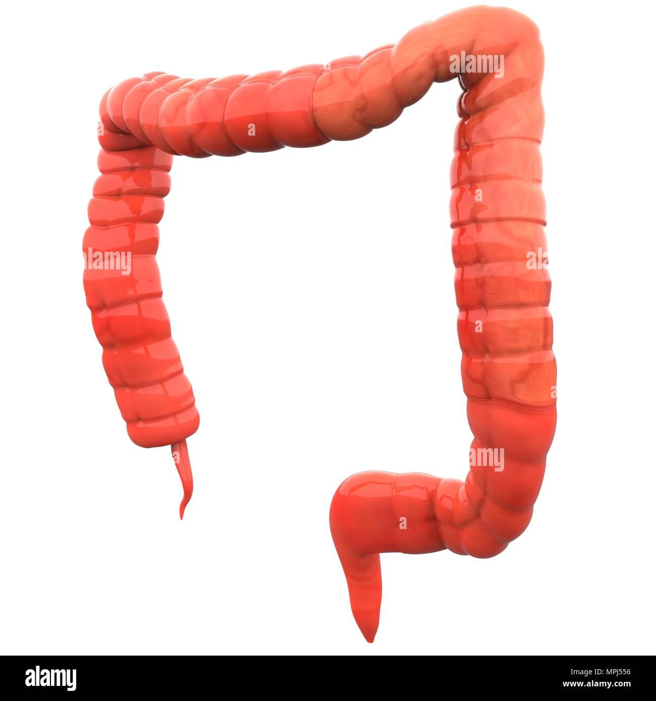 Menschliche Verdauungssystem Dickdarm Anatomie Stockfoto, Bild ...