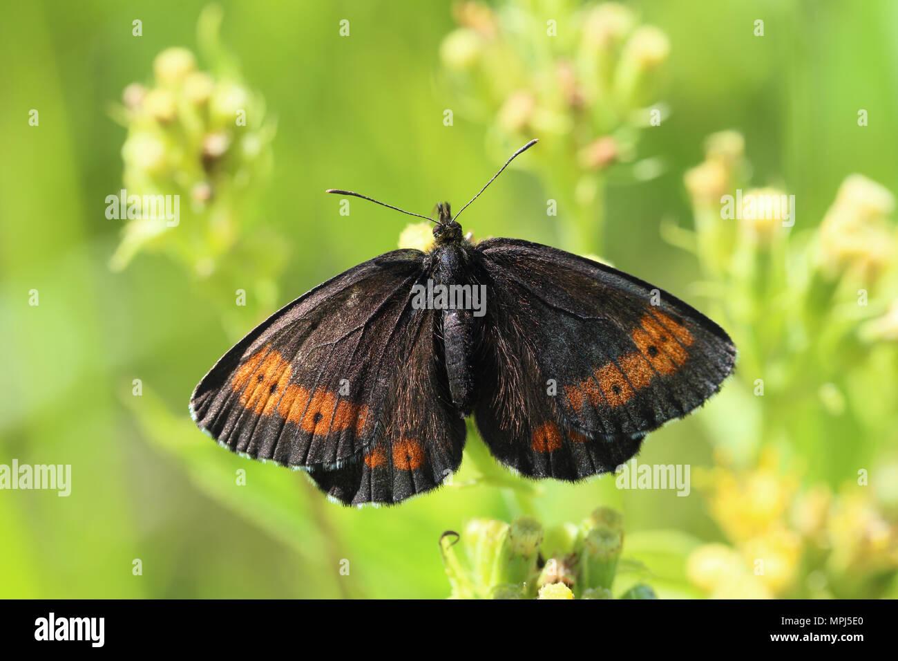 Große Ringel (Erebia Euryale) Stockbild