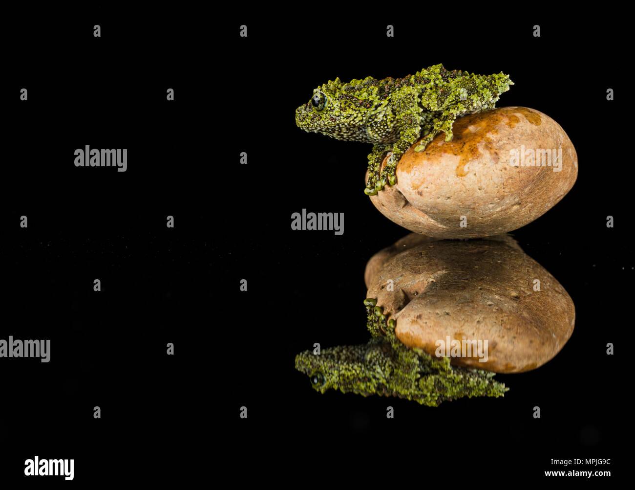S kleine Moos Frosch auf einem Felsen in einem srudio eingerichtet, mit einer Reflexion Stockbild