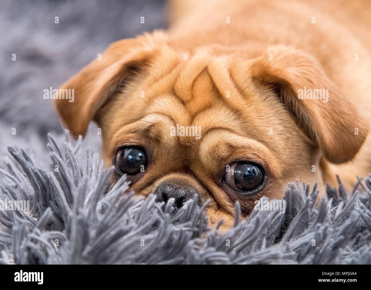 Eine niedliche Mops Welpen zur Festlegung auf grauem Teppich Stockbild
