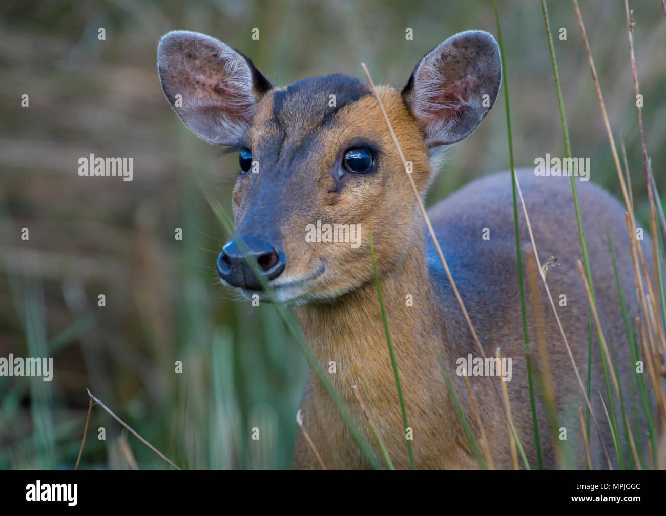 Wild muntjac Rotwild in langen Gras Stockbild