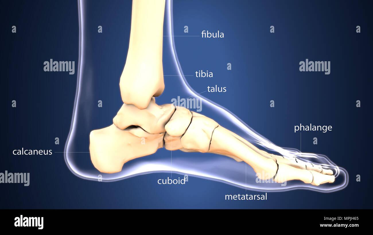 3D-Render von Fuß zu Fuß Anatomie knochen knochen Mittelfußknochen ...