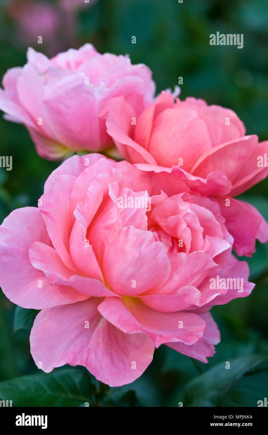 ROSA GRANDIFLORA 'Sweet FRAGRANCE' Stockbild