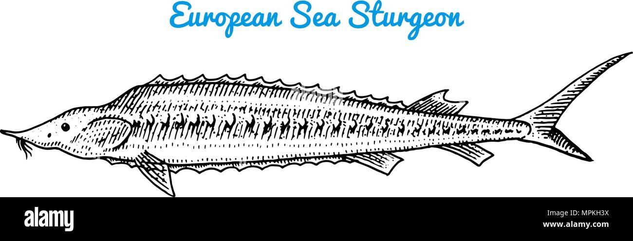 Fluss und See fischen. Europäische meer Stör. Meeresbewohner ...
