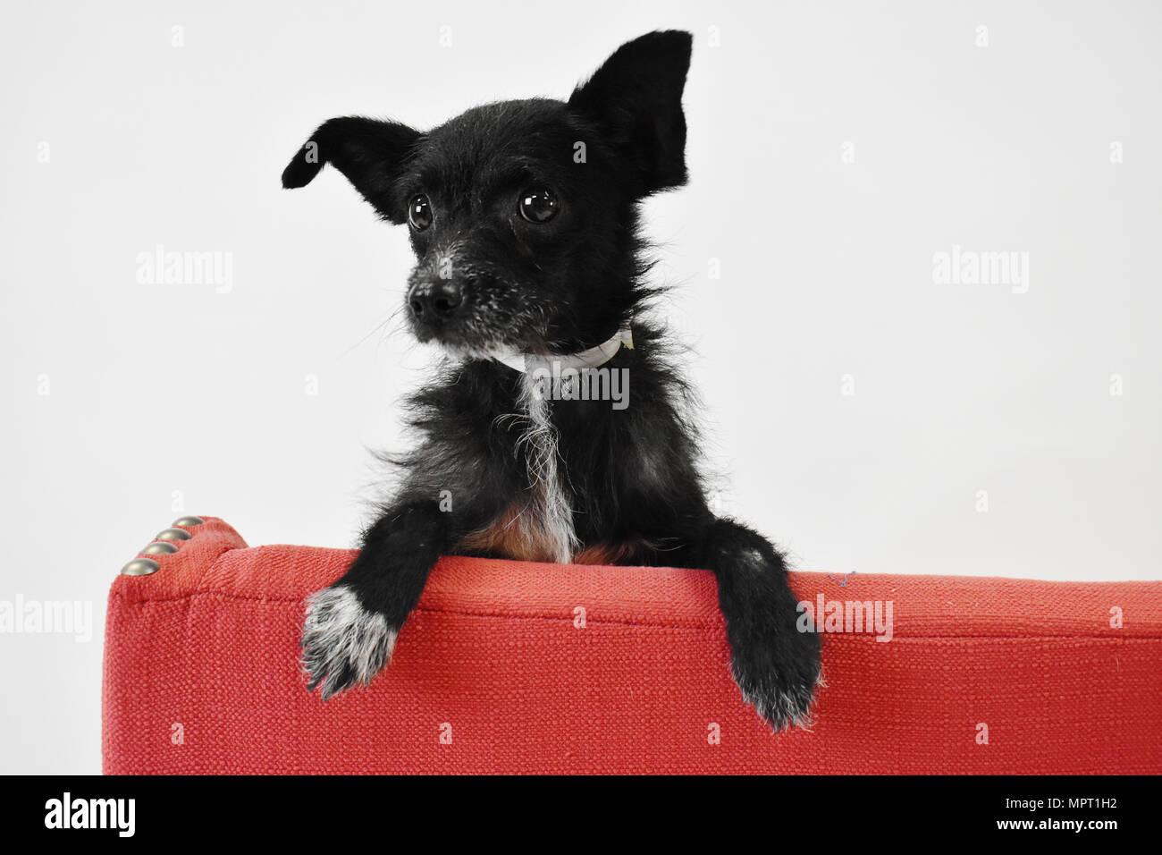 Kleiner Schwarzer Hund Auf Roter Stuhl Auf Weiß In Studio Isoliert
