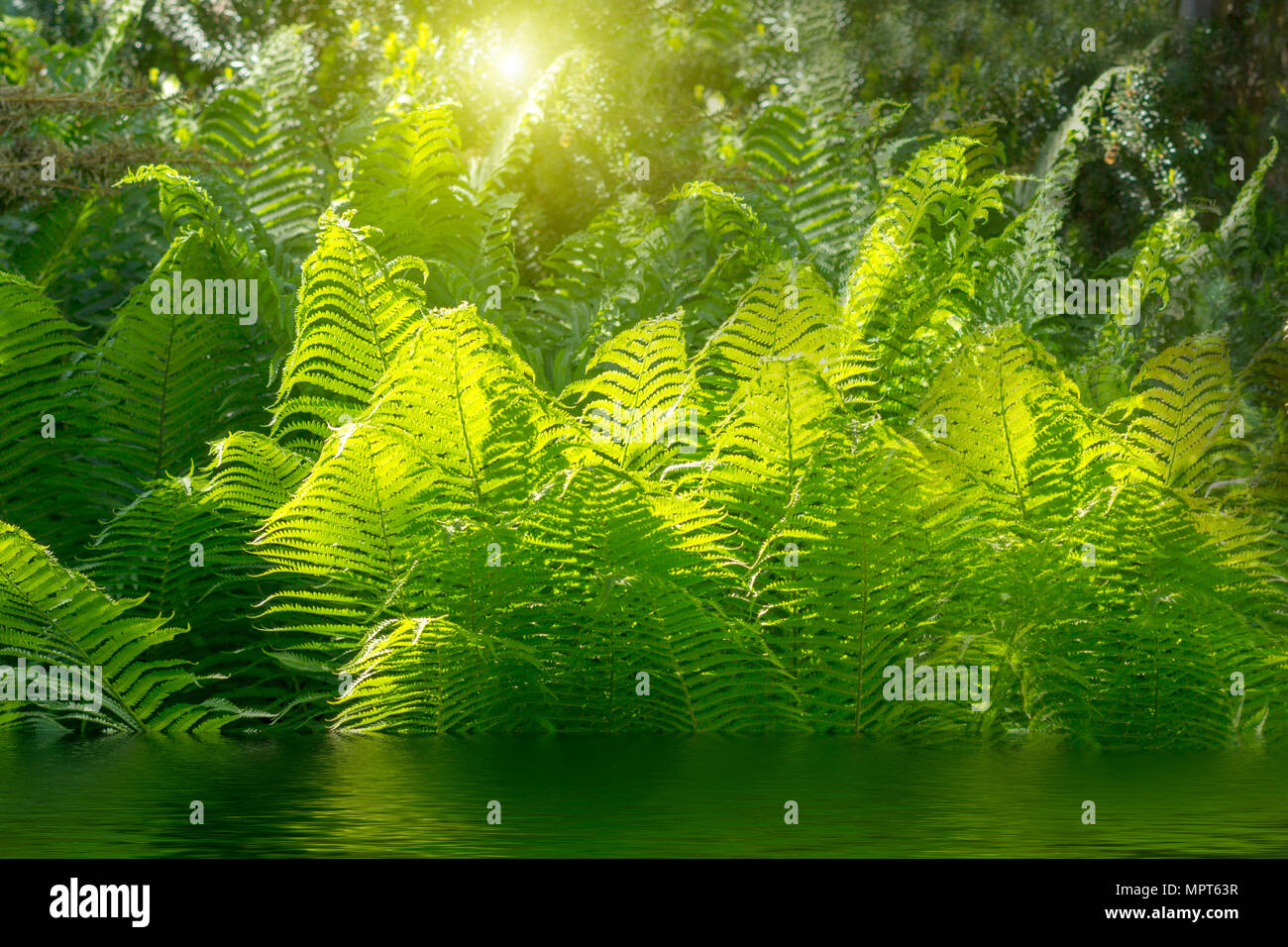 Schöne Farne mit grünem Laub grün blumen Farn Hintergrund im Sonnenlicht Stockbild