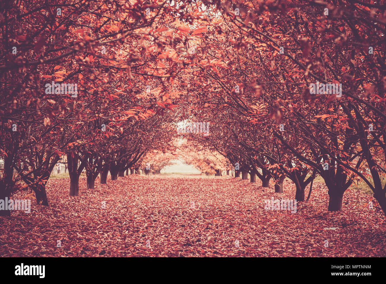 Lange Straße in der Mitte des magischen Wald. Herbst im Freien. Rote Töne und Bäume auf beiden Seiten. Licht am Ende. Stockbild