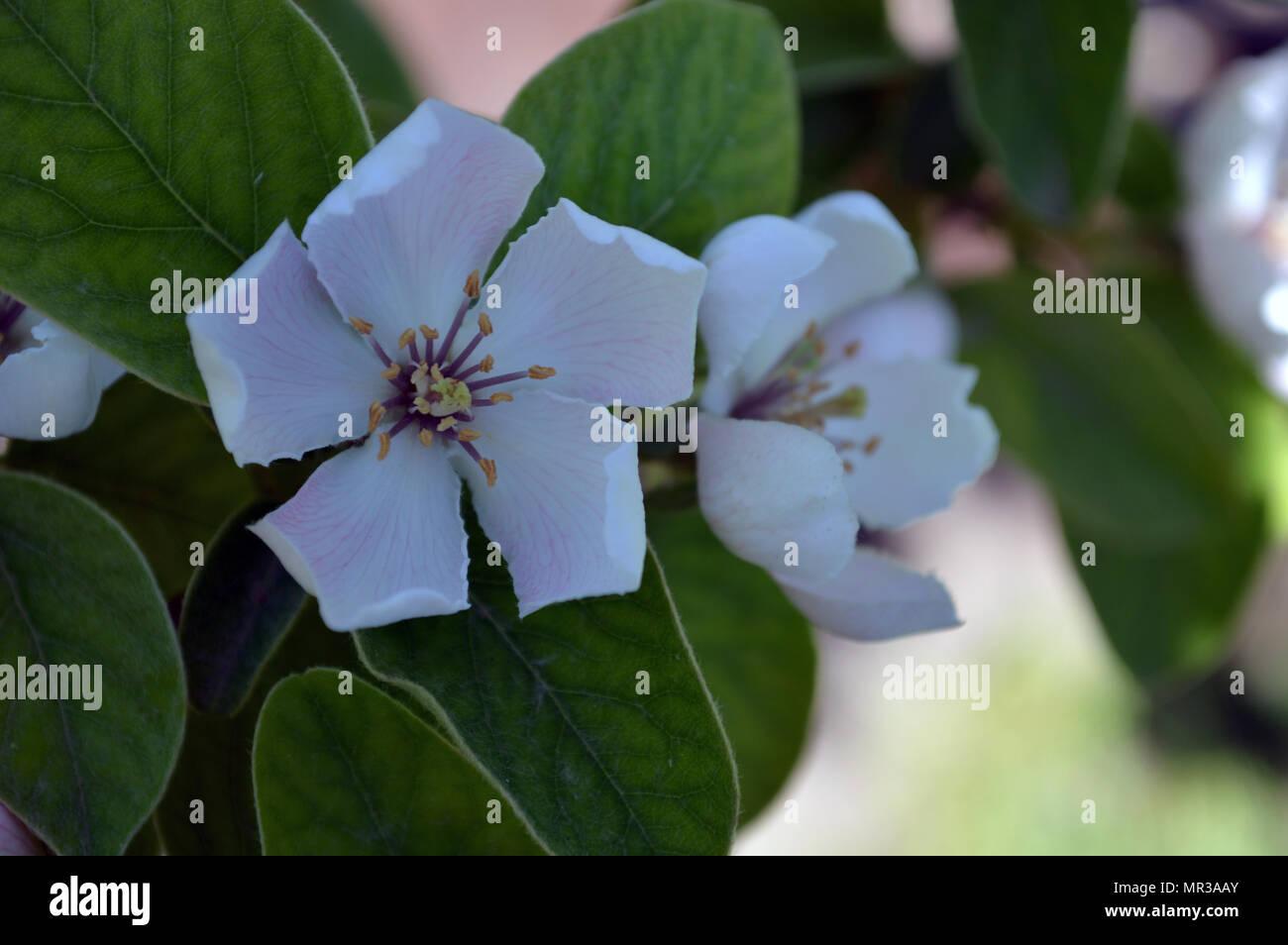 Quitte Baum Blumen in voller Blüte Detail Stockbild
