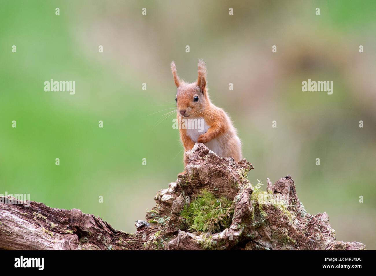 Ein rotes Eichhörnchen (Sciurus vulgaris) in den Wäldern von Dumfries und Galloway, Schottland, Großbritannien Stockfoto