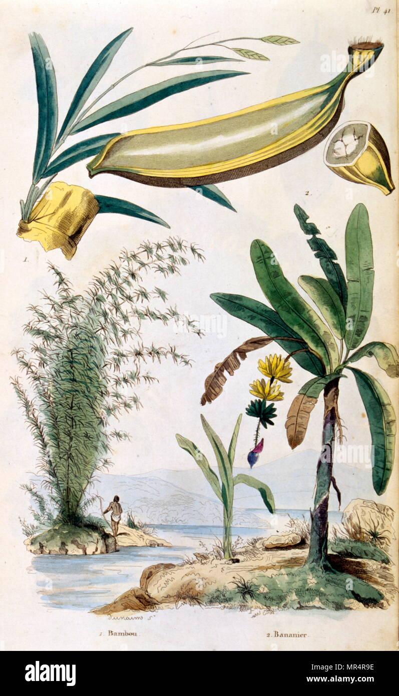 Franzosisch Farbige Illustration Um 1884 Mit Tropischen Pflanzen