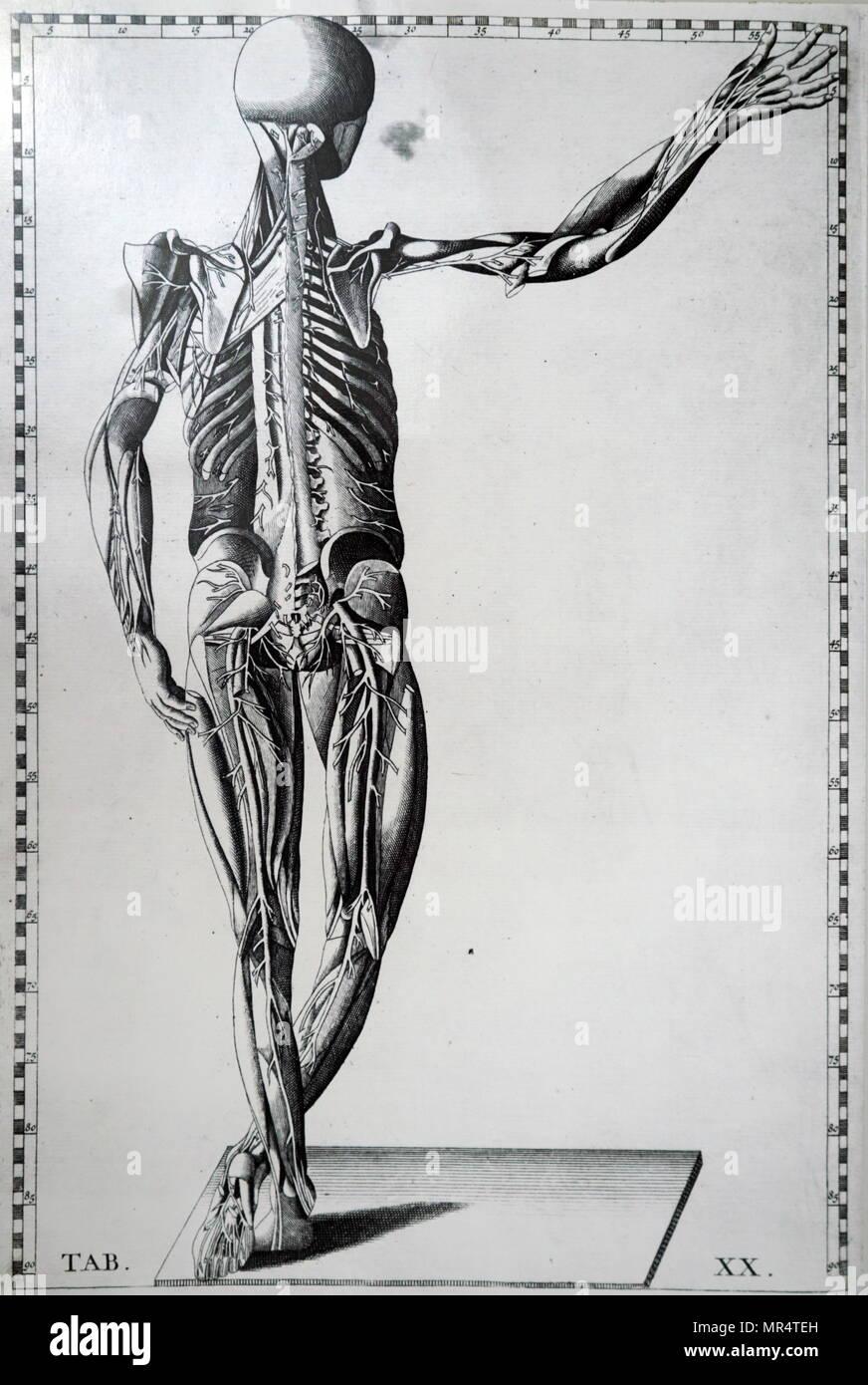 Ziemlich Vater Der Menschlichen Anatomie Fotos - Physiologie Von ...